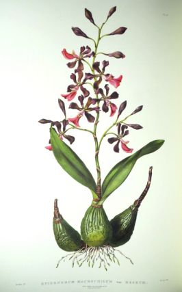 The Orchidaceæ of Mexico and Guatemala. James BATEMAN.
